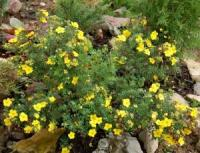 ЛАПЧАТКА КУСТАРНИКОВАЯ POTENTILLA FRUTICOSА 'GOLDSTAR'