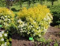 СПИРЕЯ ВАНГУТТА SPIRAEA X VANHOUTTEI 'GOLD FOUNTAIN'